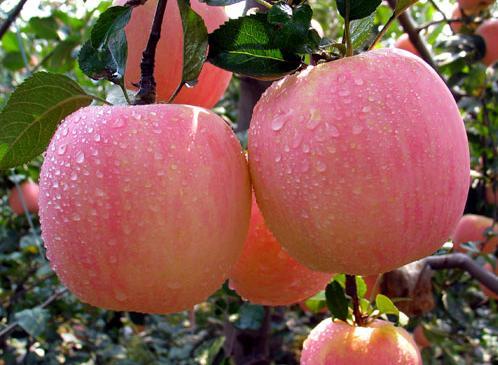 ปลูกแอปเปิ้ลในไทย