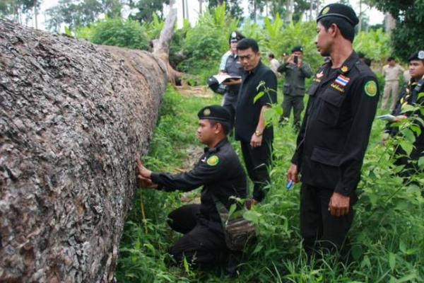 ลักลอบตัด ต้นยางนา 500 ปี! ใหญ่ยักษ์ 8 คนโอบ สร้างบ้านได้ 3 หลัง คุณค่าของป่าไม้ไทย